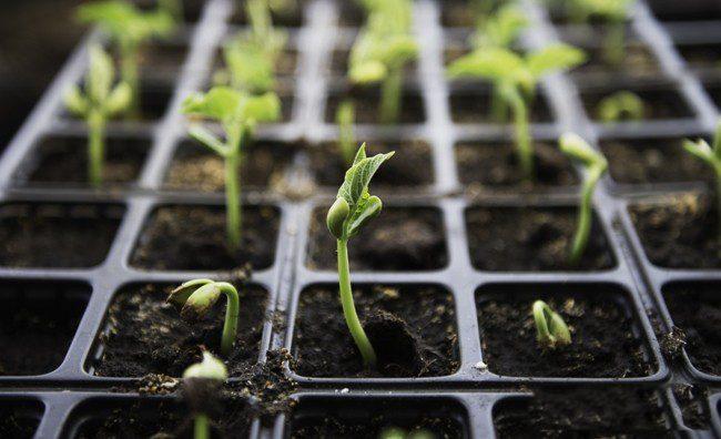 Как сажать семена розмарин на рассаду 17